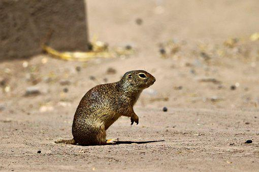 Gopher, Rodent, Desert, Sand, Alert, Shy, Animal