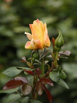 Yellow, Rose, Summer, Flower, Garden, Blossom, Bloom