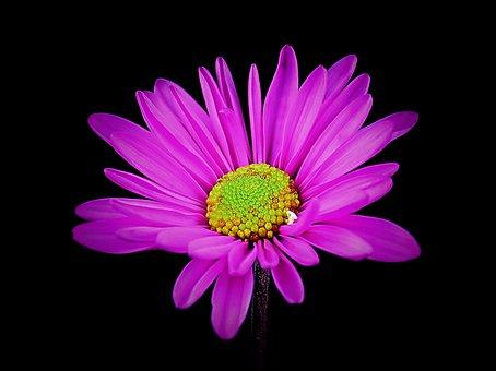 Daisy, Flower, Floral, Spring, Nature, Pink, Garden