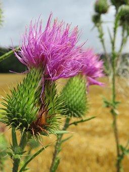 Thistle, Plant, Spur, Nature, Flower, Summer, Close Up
