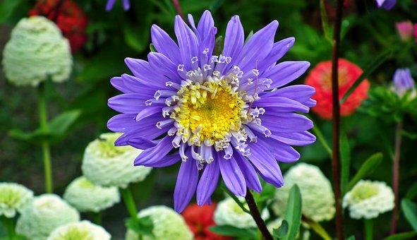 Aster, Flowers, Blue, Garden, Summer, The Petals