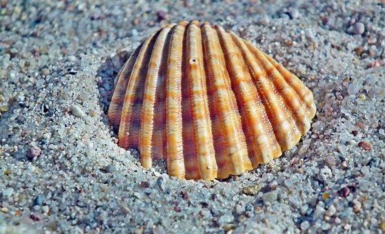 Seashell, Sand, Ocean, Nature, Summer, The Coast