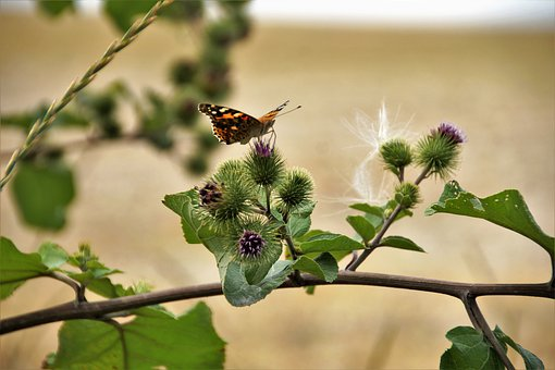 Thistle, Prickly, Summer, Spines, Butterfly, Plant
