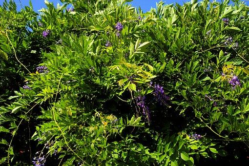 Bush, Blue Rain, Garden, Toxic, Tender, Flowers, Summer