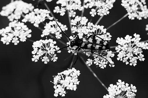 Baldurek Striped, The Beetle, Kózkawate