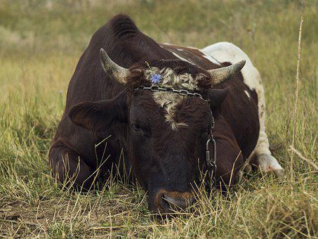 Bull, Cow, The Horn Of Africa, Farm, Cattle, Nature