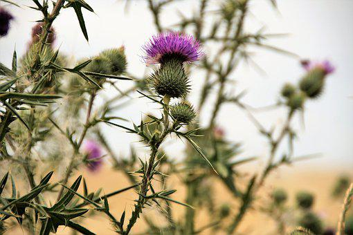 Thistle, Violet, Weed, Flower, Prickly, Summer, Spines