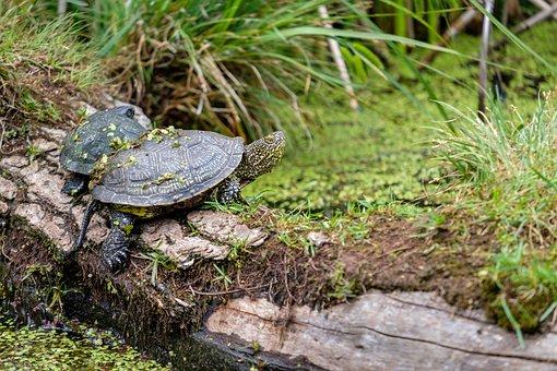 Turtle, Marsh Turtle, Vertebrate, Reptile, Amphibians