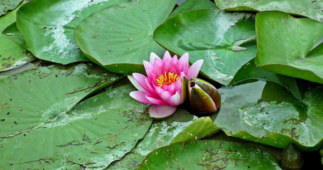 Water Lilies, Pond, Flower, Summer, Water Lily, Pink