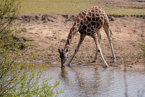 Giraffe, Drink, Thirst, Water, Waters, Pools, Puddle