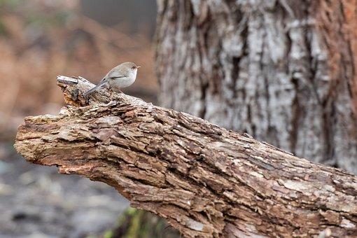Superb Fairywren, Wren, Bird, Avian, Animal, Female
