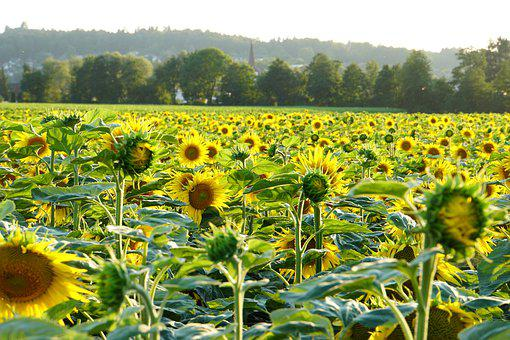 Sunflower, Abendstimmung, Summer, Yellow, Blossom