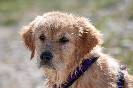 Dog, Puppy, Golden Retriever, Young, Animal