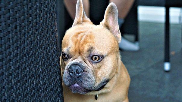 French Bulldog, Dog, Sweet, Cute, Animal Portrait, Pet