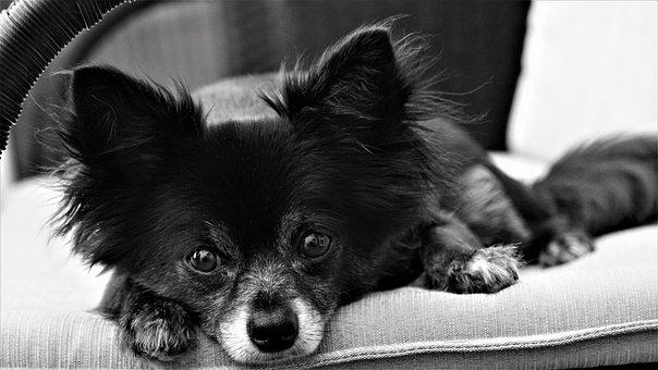 Chihuahua, Dog, Small, Cute, Sweet, Black White, Animal