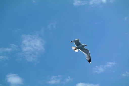 Seagull, Bird, Flying, Sky, Animal World, Water Bird