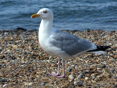 Seagull, Gull, Bird, Beach, Sea