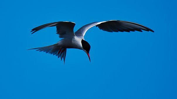 Bird, Common Tern, Flying, Wildlife, Coastal Bird