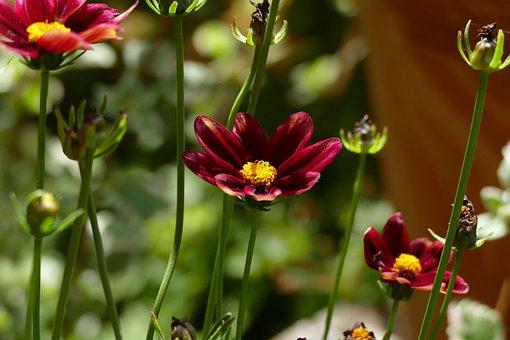 Red Eye Girl, Garden, Blossom, Bloom, Flower, Plant