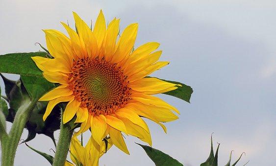 Sunflower, Helianthos, Yellow, Blossom, Bloom