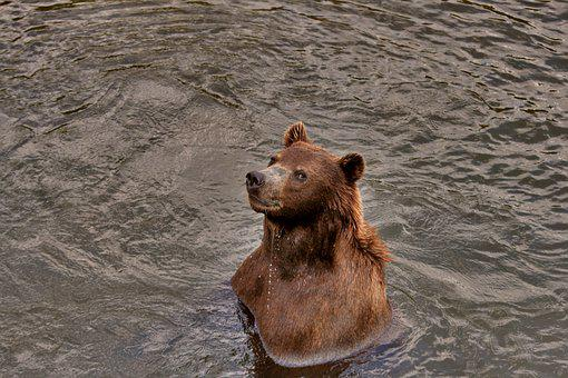 Brown Bear, Water, Curious, Wildlife Park