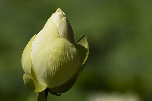 Lotus, Flower, Button, Bud, Zen, Petals, Beauty