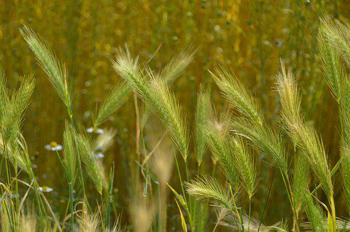 Nature, Field, Agriculture, Plants, Green, Cereals