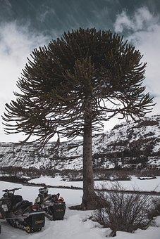 Araucaria, Tree, Araucariaceae, Chile, Branch, Tropical