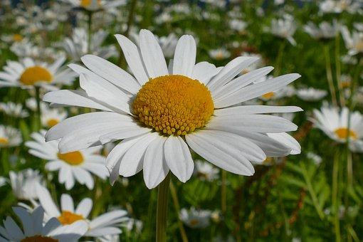 Flower, Blossom, Bloom, Macro, Close Up, Daisy, Sun