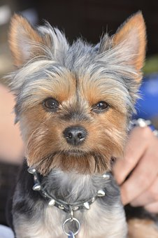 Yorkie, Dog, Puppy, Cute, Adorable, Yorkshire, Grey
