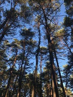 Pine, Trees, Fir Tree, Conifer, Wood, Still, Evening