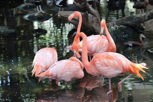 Flamenco, Birds, Plumage, Nature, Exotic, Wild
