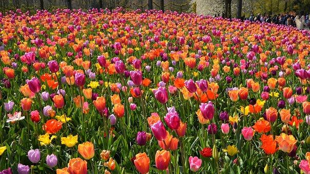 Flower Meadow, Tulips, Bloom, Spring