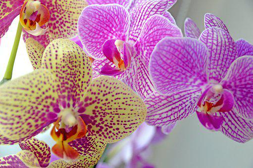 Orchidee, Flower, Blossom, Plant, Nature, Orchid, Pink