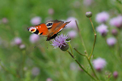 Butterfly, Summer, Meadow, Insect, Wing, Flower, Macro