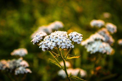 Meadow, Grass, Flowers, Wild Flower