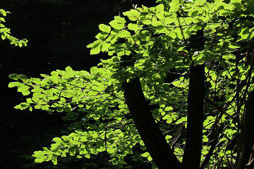 Forest, Tree, Foliage, The Nature Of Light, Green
