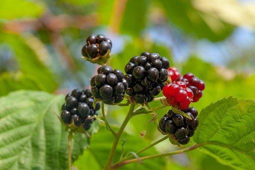 Blackberries, Ripe, Black, Red, Blackberry, Fruit, Food