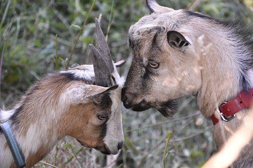 Goats, Goat, Goat Pépito Jupiter, Herbivore, Ruminant