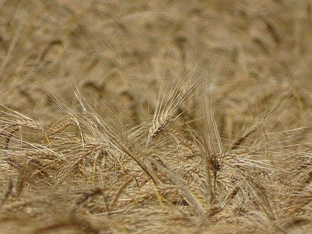 Cereals, Field, Grain Ripe, Agriculture, Summer, Grain