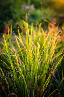 Grass, Meadow, Greens, Summer, Grass At Sunset, Village