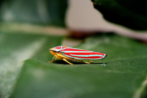 Insect, Glassy-winged Sharpshooter, Leafhoppers