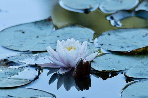 Water Lily, Flower, Pond, Pink, Plants, Leaf