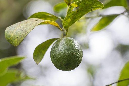 Lemon, Tree, Plant, Green, Citrus, Fruit, Lemons
