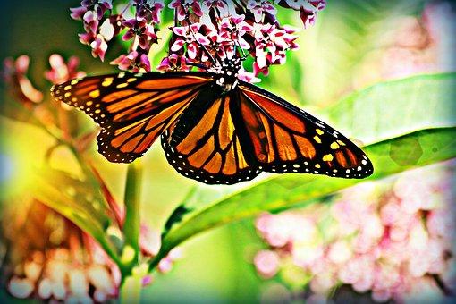 Butterfly, Monarch, Wings, Milkweed, Light, Plant