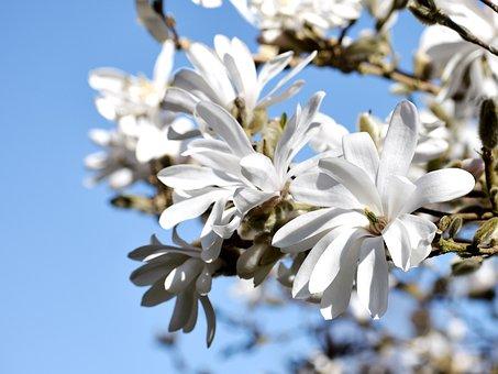 Magnolia, White, Petals, Blue Sky, Summer, Spring