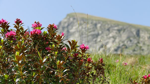 Alpine Rose, Blooms, Pink Flower, Flower, Nature