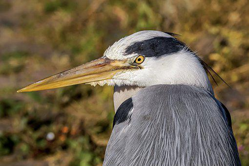 Heron, Bird, Plumage, Nature, Water Bird, Bill