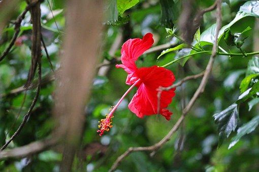 Hibiscus, Rosemallow, Nature, Flower, White, Green