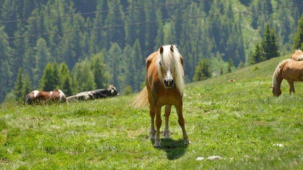 Horse, Haflinger, South Tyrol, Animal, Mammal, Pasture